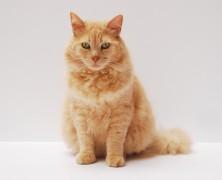 Comment faire perdre du poids à son chat obèse ?